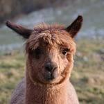 Alpakas sind jedem beliebt - ob bei Familien, Junggesellenabschiede, Firmenfeiern oder Geburtstagen