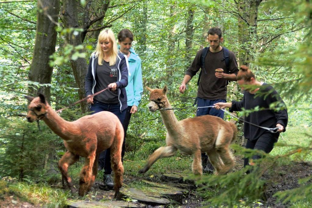 Alpaka-Wanderungen zu Firmenfeiern, Geburtstagen, Weihnachtsfeiern oder Junggesellenabschieden