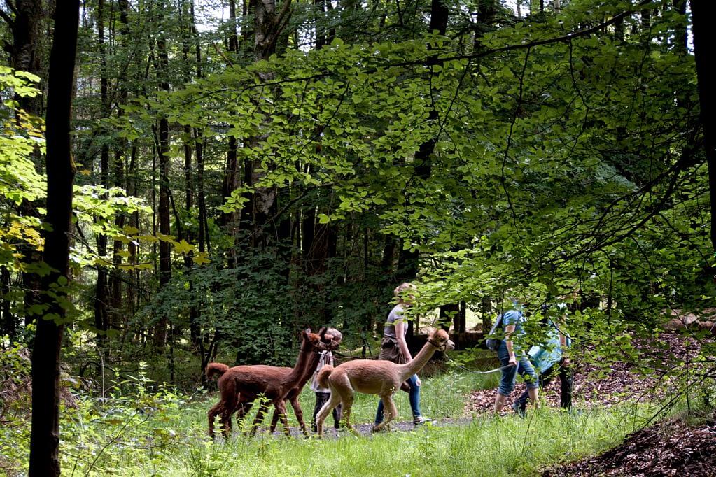 Alpakatouren im Puderbacher Land im Westerwald